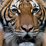 The only 60-year old tiger on the planet…